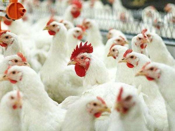 Business Plan 1000/2000 chickens on poultry farms (meat