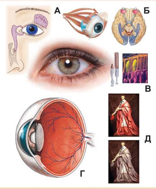 ...мышцы глаза Б - схема строения зрительного анализатора В - строение сетчатки Г - схема строения глазного яблока Д...