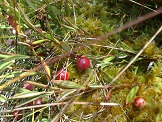 Original photo ... Cranberries in the moss