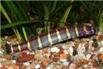 Аквариумные рыбки разведение Акантофтальмуса