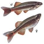 Аквариумные рыбки разведение Кардинала