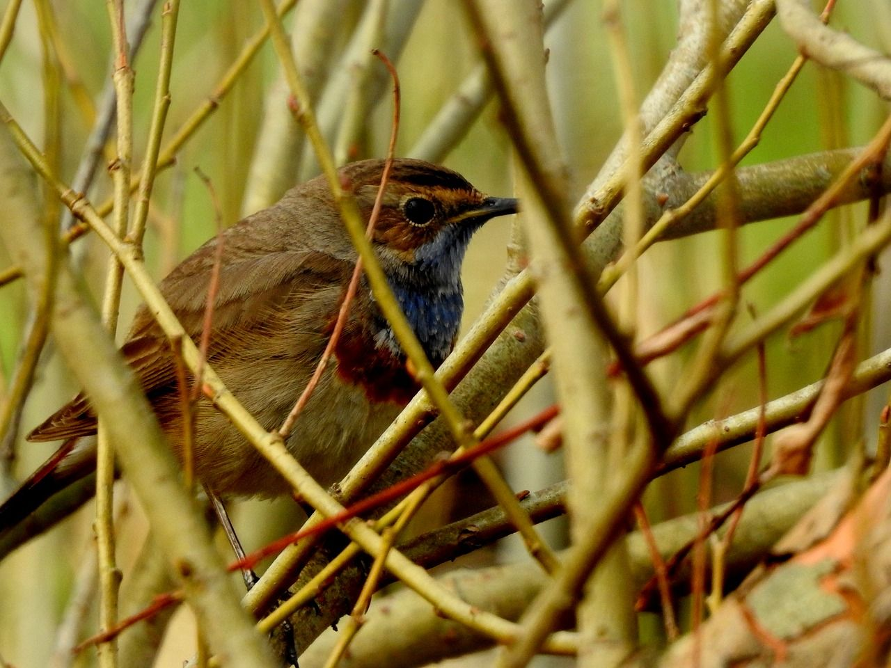 Bluethroat mp3, m4r