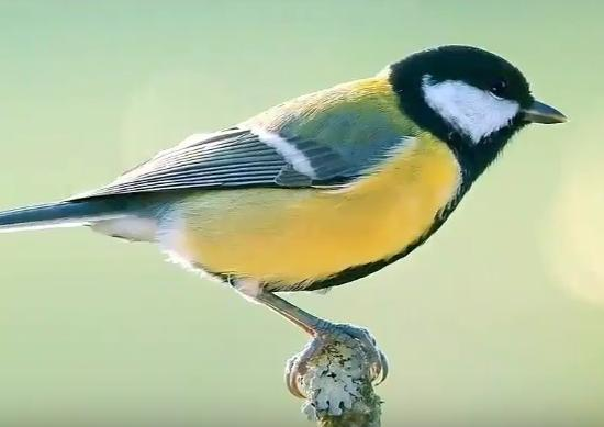 Great tit bird ringtone for Android